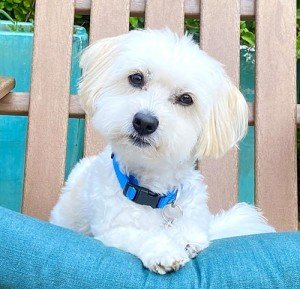 little white dog at Friends of Peanut dog boarding